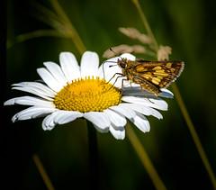 Sweet Yellow (Portraying Life, LLC) Tags: michigan unitedstates pentax k1 ricoh handheld nativelighting meadow daisy butterfly skipper da3004 hd14tc nectar dining
