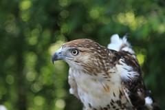 Bubbles of Bokeh (yelovet00) Tags: hawk redtailedhawk muttonmead birdsofprey raptor
