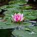 Pond Lilly - first bloom of the season!