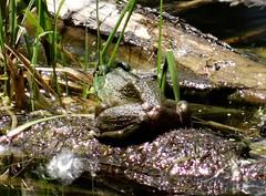 Afternoon frog (EcoSnake) Tags: americanbullfrog lithobatescatesbeiana frogs amphibians june sunlight water wildlife idahofishandgame naturecenter