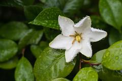 Gardenia jasminoides (odeleapple) Tags: pentax k5 lls smc pentaxda 50mm gardenia jasminoides rain