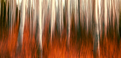 Aspens (rubberducky_me) Tags: jasper canada aspen tree leaves red movement forest fall autumn