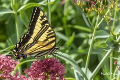 Tiger Swallowtail Butterfly, Western edition (lamoustique) Tags: tigerswallowtail western brushprairie washington usa