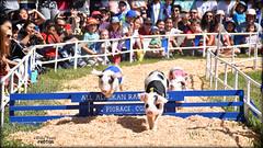 All-Alaskan Racing Pigs (billypoonphotos) Tags: racing pigs pleasanton billypoon billypoonphotos picture bay area all alaskan nikon d5500 nikkor 18140mm pig photo alameda california fair county photography photographer jumps jumping racingpigs