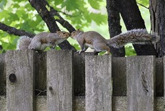 Nose To Nose (Diane Marshman) Tags: graysquirrel squirrel large rodent gray brown white black fur bushy tail motion action weathered wood fence boards spring pa pennsylvania nature wildlife animal
