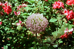 Garden Photos (evelasq12) Tags: nikon newyorkcity newyork nikonlens nikonaislens nikonfg cinestill cinestill50d manhattan flowers gardens garden waterfountain water nikonnofilter film filmphotos filmphotography filmisnotdead