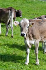 DSC_7210.jpg (Elizabeth Mulshine) Tags: fussen germany biketour cow