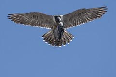 (The Transit Photographer) Tags: birds raptors falcons peregrinefalcons thehappycouple fredandwilma inflight feedingthechicks female wilma akaginger