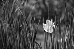 Flower (Ennev) Tags: k3ii quebec canada pentax bw k3 nature 2019 summer june blackandwhite pentaxk3ii smcpentaxda18135mmf3556edalifdcwr bokeh pentaxart saintemarthe