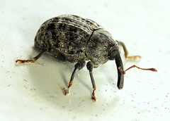bug of the day (urtica) Tags: framinghamma framingham ma massachusetts usa yard night bugoftheday insect beetle weevil coleoptera curculionidae rhyssomatus rhyssomatuslineaticollis milkweedweevil