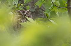 Petit Duc Maculé - Eastern Screech Owl (aquevillon) Tags: