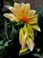 To Fall Apart (Robert Cowlishaw (Mertonian)) Tags: deeply petals flower mertonian evening bypl backyardphotolab elegant robertcowlishaw spring2019 curvy 4sophia shadesinyellow ineffable awe wonder beauty beautiful flowing softly canon powershot sx70hs canonpowershotsx70hs