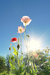 (marussia1205) Tags: маки лето фишай солнце цветы