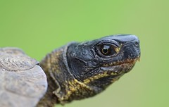 Wood Turtle Head (corey.raimond) Tags: glyptemys insculpta wood turtle wisconsin animal wildlife endangered threatened reptile plastron clemmys shell fauna