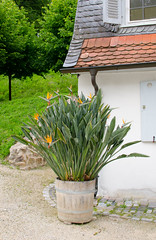 DSC_7981.jpg (Elizabeth Mulshine) Tags: flower germany birdofparadise orange