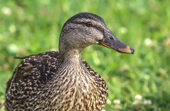 Mallard Hen Portrait (dianne_stankiewicz) Tags: mallard duck bird nature wildlife hen feathers portrait