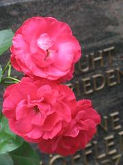 O unerforschlich-tiefes Wesen (amras_de) Tags: rose rosen ruža rosa ruže rozo roos arrosa ruusut rós rózsa rože rozes rozen roser róza trandafir vrtnica rossläktet gül blüte blume flor cvijet kvet blomst flower floro õis lore kukka fleur bláth virág blóm fiore flos žiedas zieds bloem blome kwiat floare ciuri flouer cvet blomma çiçek
