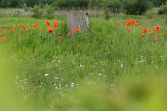 Poppies Through Grapevine (Doris Burfind) Tags: poppies wildflowers spring field red green fence bee