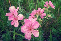 Wildflowers .. (Mr. Happy Face - Peace :)) Tags: pink nature wilderness hiking albertabound canada art2019 macromondays flower floral lines curves theme