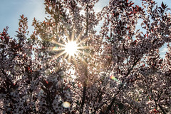 Morning Sunshine in the Spring Flowers (marylea) Tags: may11 2019 purpleleafsandcherry purpleleafedsandcherry garden flowers flowering shrubs spring gardens