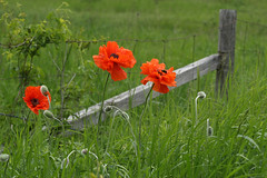 Three Poppies and a Bee (Doris Burfind) Tags: poppies wildflowers spring field red green fence bee