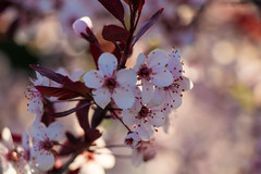 Flowers from the Purple Leaf Sand Cherry (marylea) Tags: may11 2019 purpleleafsandcherry purpleleafedsandcherry garden flowers flowering shrubs spring gardens