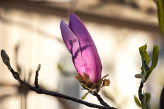 Magnolia bud (marylea) Tags: may11 2019 magnolia blooms blooming spring garden