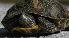 Turtle_SAF3067-1 (sara97) Tags: copyright©2019saraannefinke loneelkpark missouri nature photobysaraannefinke saintlouis turtle wildlife