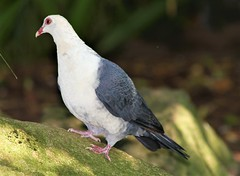 White headed Pigeon (MayBeBaby59) Tags: