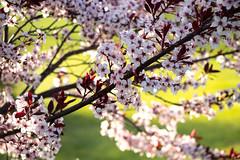 Flowers on Purple Leaf Sand Cherry (marylea) Tags: may11 2019 purpleleafsandcherry purpleleafedsandcherry garden flowers flowering shrubs spring gardens