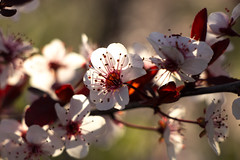 Morning Sunlight Backlighting the Purple Leaf Sand Cherry Blossoms (marylea) Tags: may11 2019 purpleleafsandcherry purpleleafedsandcherry garden flowers flowering shrubs spring gardens