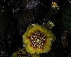 PricklyPearcactus_SAF3745-2 (sara97) Tags: eastern prickly pearopuntiahumifusa cacti cactus copyright©2019saraannefinke missouri photobysaraannefinke pricklypear saintlouis