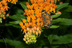 Pearl Crescent (Phyciodes tharos), Flat Rock Cedar Glade, Murfreesboro, Tennessee (kmalone98) Tags: brushfoots crescents pearlcrescent butterflies kathymaloneflickr phyciodestharos rutherfordcountytennessee butterflymilkweed