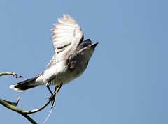 Take-off (backyardzoo) Tags: 20190616 bird eastern flight kingbird