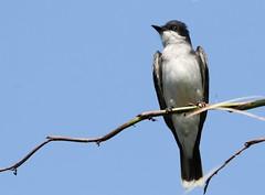 Eastern Kingbird (backyardzoo) Tags: 20190616 bird eastern kingbird