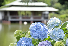 清澄庭園 (kurotango Clip) Tags: tokyo japan ajisai 紫陽花 hydrangea