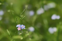 Les toutes petites fleurs... (Lucien-Guy) Tags: bokeh garden jardin flowers flower fleur fleurs myosotis