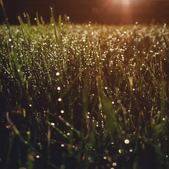 day 166 (Randomographer) Tags: project365 nature grass green moist wet droplet drip water blade grow bokeh natural organic alive h2o sunrise sunlight light lens flare glow beautiful orange illumination 166 summer 365 vii 2019