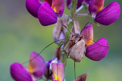Happy Fathers Day (RavenPHD) Tags: father spider daddy longlegs flower purple plant nature insect lupine creepy crawly macro close upclose