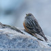 Alpine Accentor (Prunella collaris)