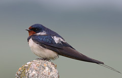 Swallow (ahtaylor1967) Tags: