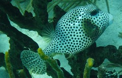 Belize trip # 31 (Professor Cox) Tags: spotted trunkfish