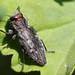 Metallic Wood boring Beetle