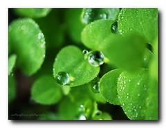 Drops & morning dews. (natureflower photography) Tags: drops morning dews greencrystal macro monday hmm bokeh