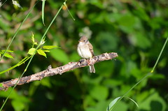 In The Early Morning Sun (Neal D) Tags: bc abbotsford matsquitrail bird western westernwoodpewee contopussordidulus