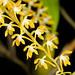 Dendrochilum aurantiacum Blume, Bijdr. Fl. Ned. Ind.: 398 (1825)