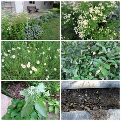 Mid-June on the Homestead (genesee_metcalfs) Tags: collage june spring daisies privet borage feverfew lambsears garden radish