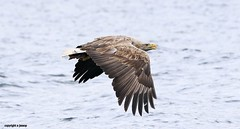 White Tailed Sea Eagle J78A0217 (M0JRA) Tags: scotland isles mull sea water waves boats reflections land birds holidays vacations sky clouds sunset sun deer fields roads gulls eagles