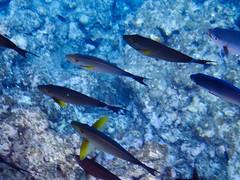 Poissons marins depuis la barque vitrée (6) (8pl) Tags: poissons eau océan mer observation japon okinawa couleur bleu jaune