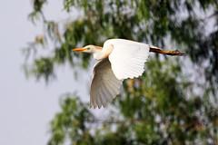 Cattle Egret in Flight (mdsaltsman) Tags: statepark brazosbend texas